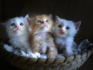 Картинки Кошки Котенок Корзинка Трое 3 Белые Рыжий животное