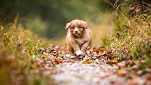 Фото Собака Щенки Тропинка Боке Новошотландский ретривер животное