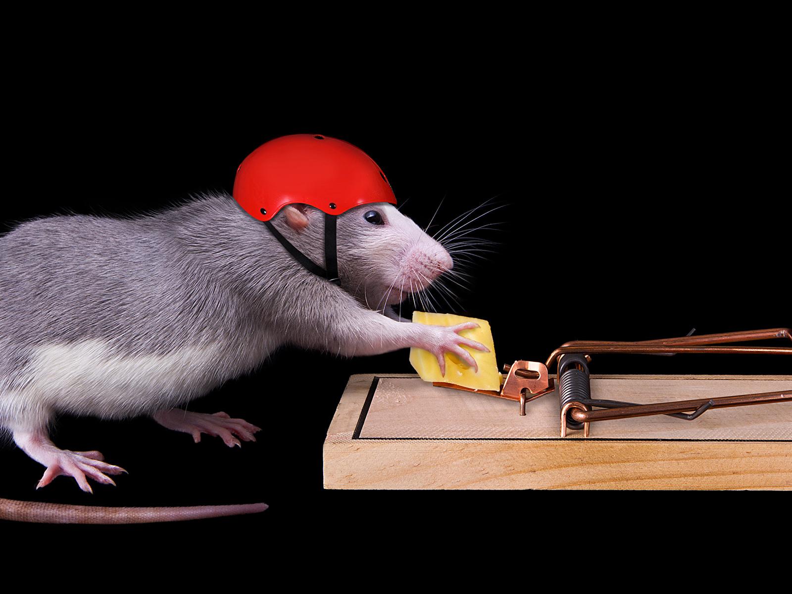 Фотография крыса Шлем Сыры хвоста Креатив Животные на черном фоне 1600x1200 Крысы шлема в шлеме Хвост креативные оригинальные животное Черный фон