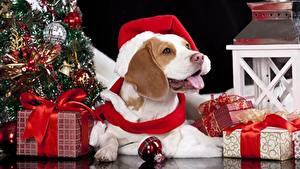 Обои Рождество Собаки Шапки Шар Подарки Бантик Язык (анатомия) Бигль Животные