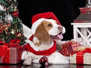 Обои Рождество Собаки Шапки Шар Подарки Бантик Язык (анатомия) Бигль
