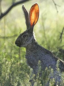 Фото Зайцы Размытый фон Траве Ветки животное