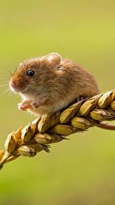 Обои Мыши Крупным планом Колосок harvest mouse Животные