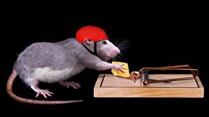 Фотография Крысы Сыры Оригинальные Черный фон Шлема Хвост Животные