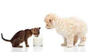 Обои Собаки Коты Молоко Мальтезе Белый фон Котята Щенки Стакан Двое Животные
