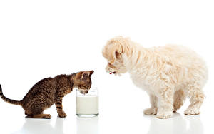 Обои Собаки Коты Молоко Мальтезе Белом фоне Котята Щенки Стакан Двое Животные