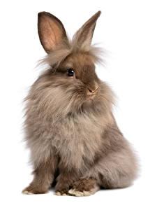 Фотография Кролики Белом фоне Сидит животное