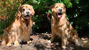 Обои Собака Золотистый ретривер Вдвоем Животные