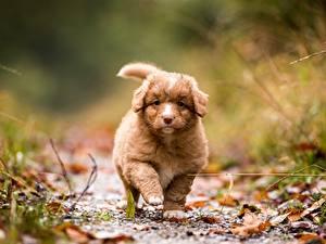 Фотографии Собака Щенки Боке Новошотландский ретривер Животные