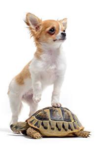 Фотографии Собака Черепахи Белым фоном Двое Чихуахуа Животные