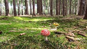 Фото Леса Грибы природа Мухомор Мха