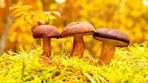 Фотография Грибы природа Три Природа