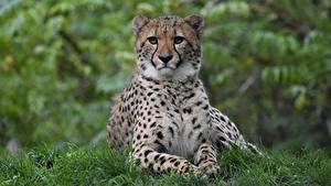 Фотографии Гепард Траве Лежит Лап Смотрят животное