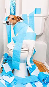 Обои Собаки Туалет Джек-рассел-терьер Взгляд Бумага Смешные Животные