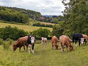 Фотография Англия Луга Корова Много Bradenham животное