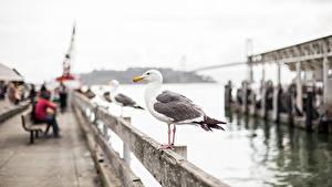 Картинки Птица Чайки Штаты Боке Сан-Франциско Набережной город