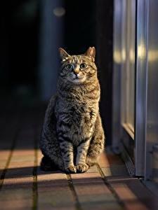 Картинка Кот Сидящие Смотрят Размытый фон Животные