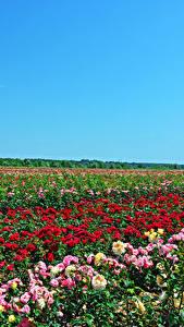 Фотография Поля Роза Много Природа Цветы