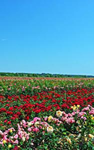 Фотография Поля Розы Много Природа Цветы