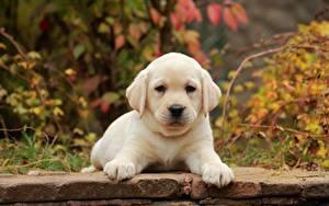 Фото Собака Щенки Лабрадор-ретривер Лап Белая