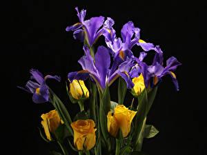 Фото Розы Ирисы Вблизи Черный фон Цветы