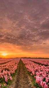 Обои Голландия Рассвет и закат Гиацинты Много Небо Поля HDR Розовые Природа Цветы