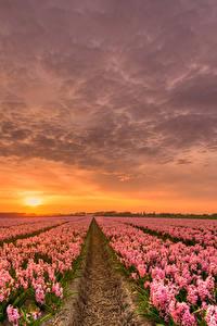 Обои Нидерланды Рассветы и закаты Гиацинты Много Небо Поля HDR Розовый Цветы