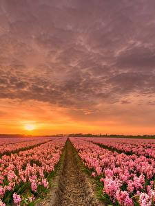 Обои Нидерланды Рассветы и закаты Гиацинты Много Небо Поля HDR Розовые Природа Цветы