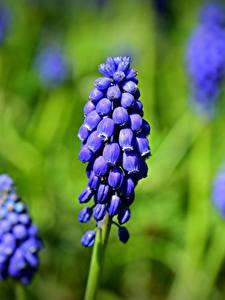 Фотографии Вблизи Боке Синяя grape hyacinth Muscari цветок