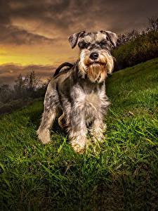 Фотография Собаки Рассветы и закаты Трава Шнауцер Животные