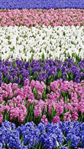 Обои Поля Гиацинты Много Разноцветные Цветы