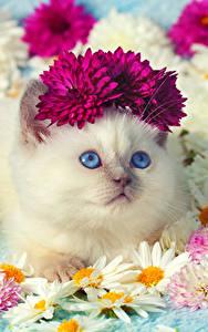 Картинки Коты Ромашки Хризантемы Смотрит Котята Милая