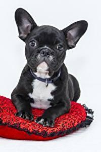 Фотографии Собаки Черный Бульдог Серый фон Смотрит Животные