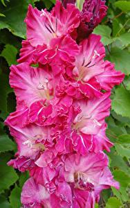 Картинка Гладиолусы Вблизи Розовый Цветы