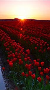 Фотографии Рассветы и закаты Поля Тюльпан Много Красный Цветы
