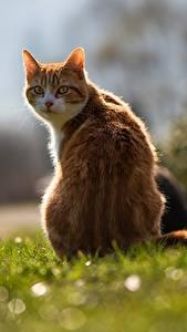 Фотографии Коты Вид сзади Траве Боке Рыжая