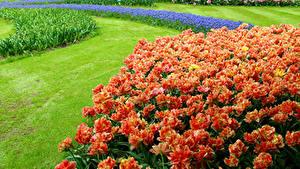 Фотография Нидерланды Парки Тюльпаны Газоне Keukenhof Природа