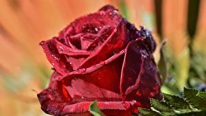 Картинка Розы Крупным планом Красных Капля Цветы