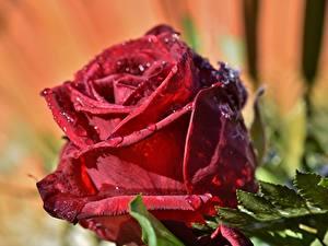 Картинка Розы Крупным планом Красный Капли Цветы