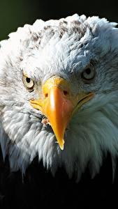 Картинки Птицы Ястреб Вблизи Голова Белоголовый орлан Клюв Смотрит животное