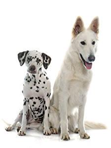 Фото Собаки Белом фоне Двое Далматин Овчарка Swiss Shepherd Животные
