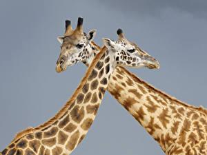 Фотография Жирафы Серый фон Двое Животные