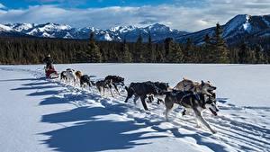 Картинка Зима Собаки Горы Леса Снег Сани Бег Хаски Тень Животные