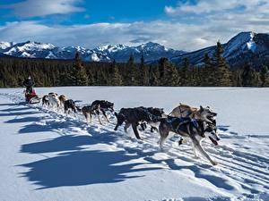 Картинка Зима Собаки Горы Леса Снеге Сани Бегущая Хаски Тень животное