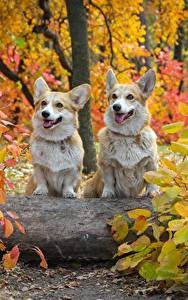 Картинка Осень Собаки Двое Вельш-корги Листья