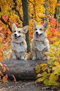 Картинка Осень Собаки Двое Вельш-корги Листья Животные