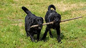 Картинки Собаки Трава Шнауцер Вдвоем Ретривер Labrador Животные