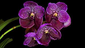Картинка Орхидея Крупным планом На черном фоне Фиолетовая Цветы