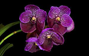 Картинка Орхидеи Крупным планом На черном фоне Фиолетовая Цветы