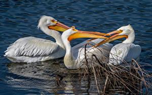 Фотография Вода Птицы Пеликаны Трое 3 Клюв Животные